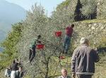 olive trees in Valtellina