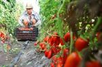 cultivating tomatoes